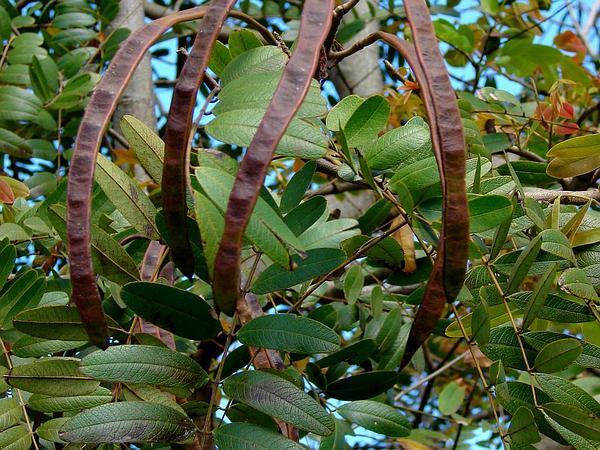 Siamese Cassia (Senna Siamea) http://www.sagebud.com/siamese-cassia-senna-siamea