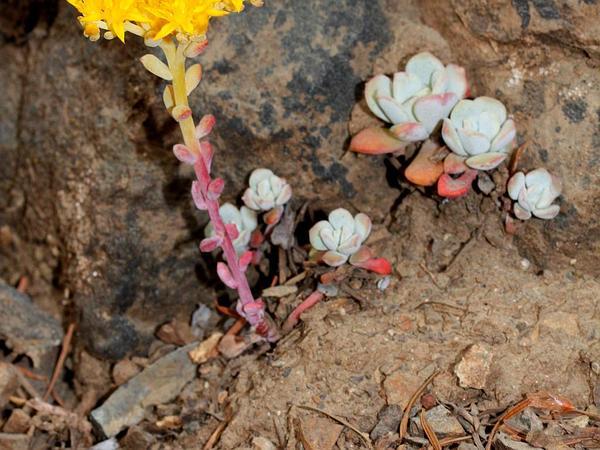 Broadleaf Stonecrop (Sedum Spathulifolium) http://www.sagebud.com/broadleaf-stonecrop-sedum-spathulifolium