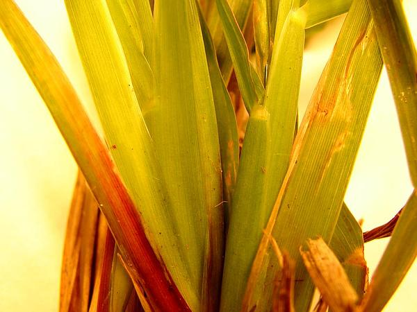 African Bristlegrass (Setaria Sphacelata) http://www.sagebud.com/african-bristlegrass-setaria-sphacelata/
