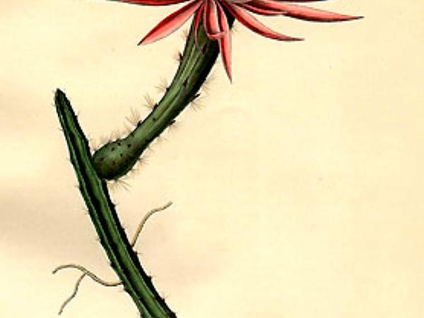 Vine-Like Moonlight Cactus (Selenicereus Spinulosus) http://www.sagebud.com/vine-like-moonlight-cactus-selenicereus-spinulosus/