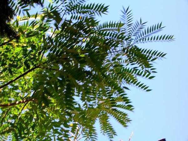 Casia Amarilla (Senna Spectabilis) http://www.sagebud.com/casia-amarilla-senna-spectabilis