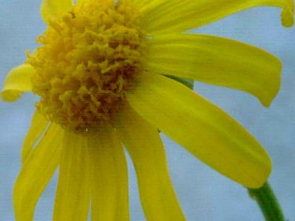Oxford Ragwort (Senecio Squalidus) http://www.sagebud.com/oxford-ragwort-senecio-squalidus