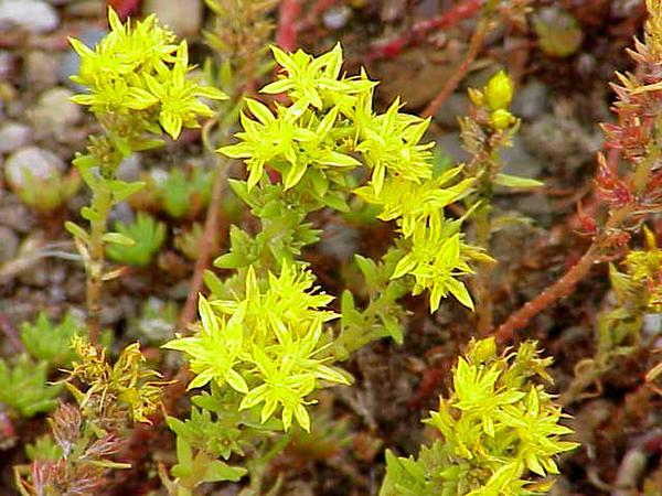 Wormleaf Stonecrop (Sedum Stenopetalum) http://www.sagebud.com/wormleaf-stonecrop-sedum-stenopetalum