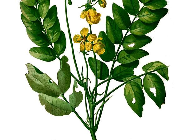 Smooth Senna (Senna Sulfurea)