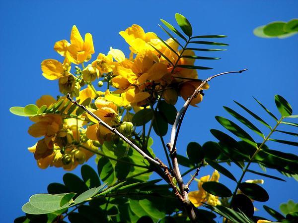 Glossy Shower (Senna Surattensis) http://www.sagebud.com/glossy-shower-senna-surattensis