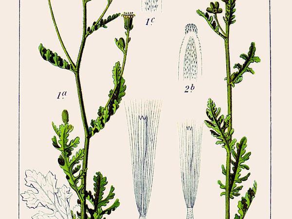 Woodland Ragwort (Senecio Sylvaticus) http://www.sagebud.com/woodland-ragwort-senecio-sylvaticus