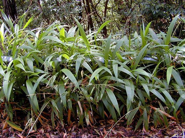 Bristlegrass (Setaria) http://www.sagebud.com/bristlegrass-setaria