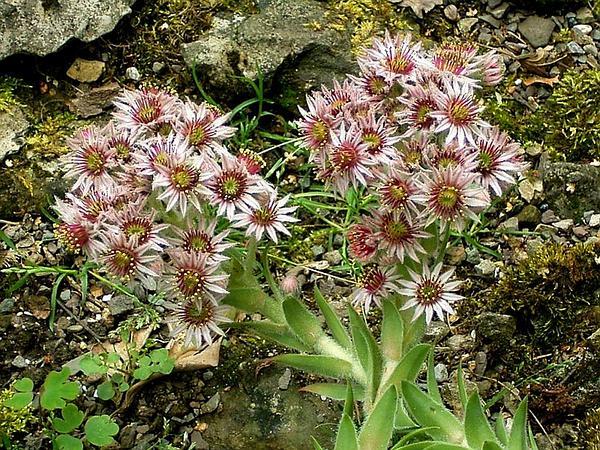 Common Houseleek (Sempervivum Tectorum) http://www.sagebud.com/common-houseleek-sempervivum-tectorum