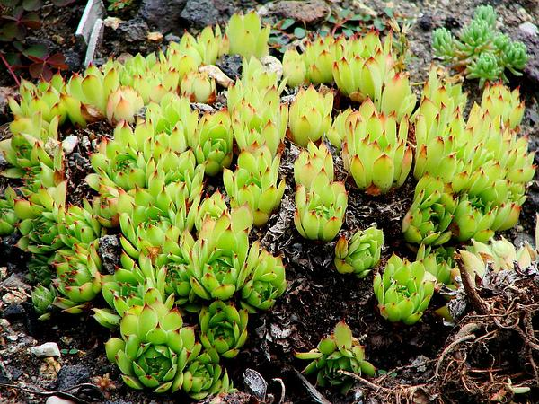 Common Houseleek (Sempervivum Tectorum) http://www.sagebud.com/common-houseleek-sempervivum-tectorum