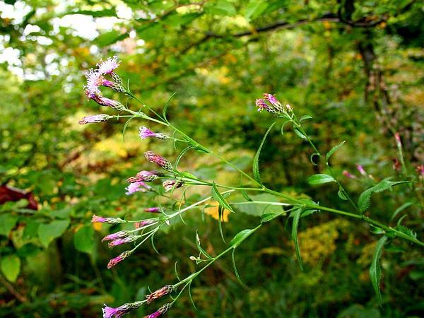 Dyer's Plumeless Saw-Wort (Serratula Tinctoria) http://www.sagebud.com/dyers-plumeless-saw-wort-serratula-tinctoria