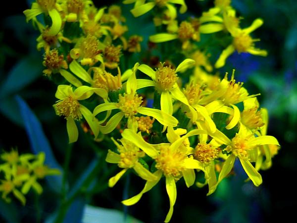 Arrowleaf Ragwort (Senecio Triangularis) http://www.sagebud.com/arrowleaf-ragwort-senecio-triangularis/