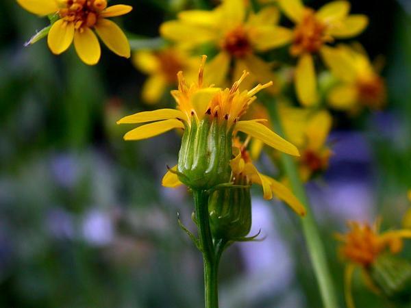 Arrowleaf Ragwort (Senecio Triangularis) http://www.sagebud.com/arrowleaf-ragwort-senecio-triangularis