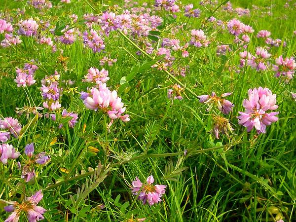 Crownvetch (Securigera Varia) http://www.sagebud.com/crownvetch-securigera-varia