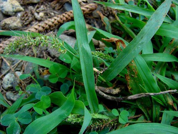 Hooked Bristlegrass (Setaria Verticillata) http://www.sagebud.com/hooked-bristlegrass-setaria-verticillata
