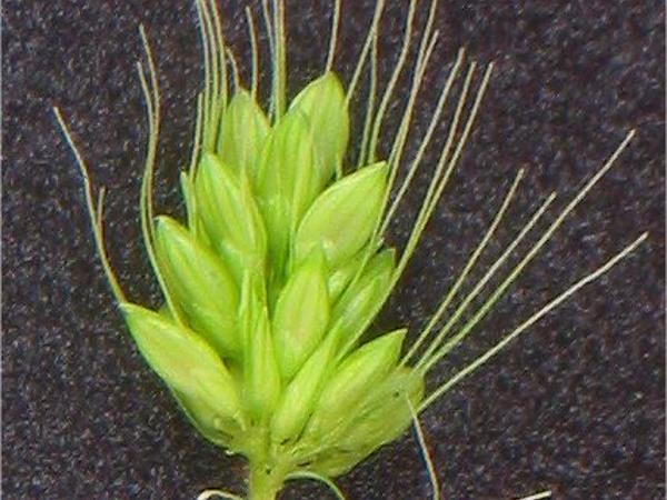 Green Bristlegrass (Setaria Viridis) http://www.sagebud.com/green-bristlegrass-setaria-viridis