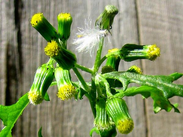 Old-Man-In-The-Spring (Senecio Vulgaris) http://www.sagebud.com/old-man-in-the-spring-senecio-vulgaris/