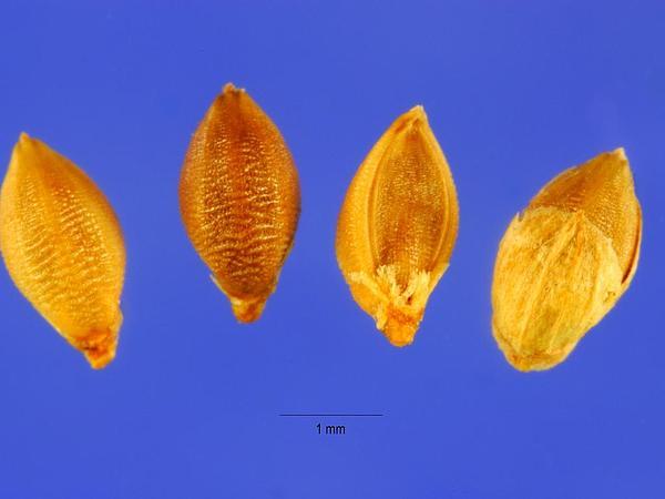 Plains Bristlegrass (Setaria Vulpiseta) http://www.sagebud.com/plains-bristlegrass-setaria-vulpiseta