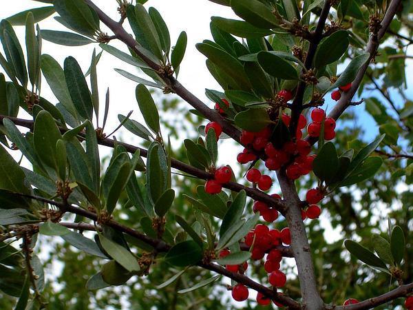 Silver Buffaloberry (Shepherdia Argentea) http://www.sagebud.com/silver-buffaloberry-shepherdia-argentea/