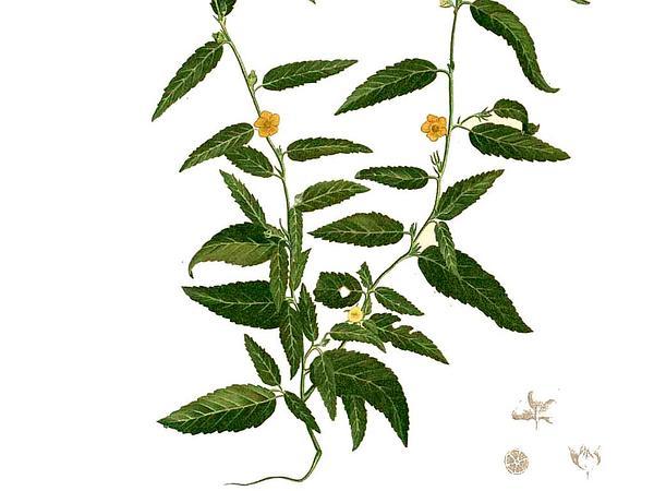 Common Wireweed (Sida Acuta) http://www.sagebud.com/common-wireweed-sida-acuta
