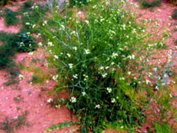 Tall Tumblemustard (Sisymbrium Altissimum) http://www.sagebud.com/tall-tumblemustard-sisymbrium-altissimum