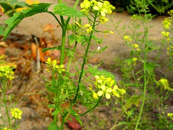 White Mustard (Sinapis Alba) http://www.sagebud.com/white-mustard-sinapis-alba