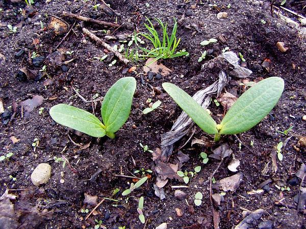 Oneseed Bur Cucumber (Sicyos Angulatus) http://www.sagebud.com/oneseed-bur-cucumber-sicyos-angulatus/