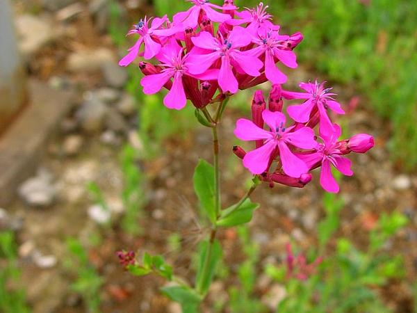 Sweet William Silene (Silene Armeria) http://www.sagebud.com/sweet-william-silene-silene-armeria