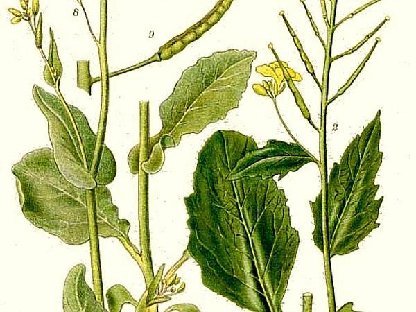 Charlock Mustard (Sinapis Arvensis) http://www.sagebud.com/charlock-mustard-sinapis-arvensis