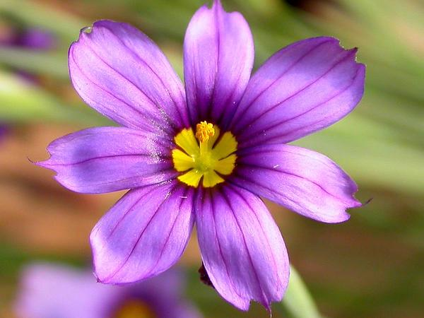 Western Blue-Eyed Grass (Sisyrinchium Bellum) http://www.sagebud.com/western-blue-eyed-grass-sisyrinchium-bellum/