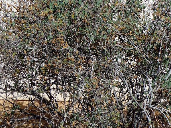 Jojoba (Simmondsia Chinensis) http://www.sagebud.com/jojoba-simmondsia-chinensis/