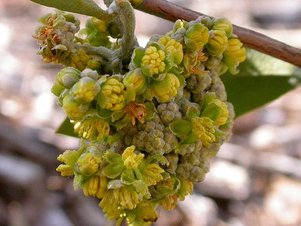 Jojoba (Simmondsia Chinensis) http://www.sagebud.com/jojoba-simmondsia-chinensis
