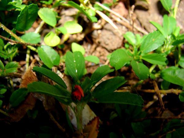 Bracted Fanpetals (Sida Ciliaris) http://www.sagebud.com/bracted-fanpetals-sida-ciliaris