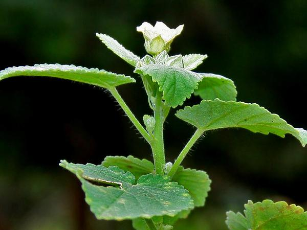 Ilima (Sida Cordifolia) http://www.sagebud.com/ilima-sida-cordifolia
