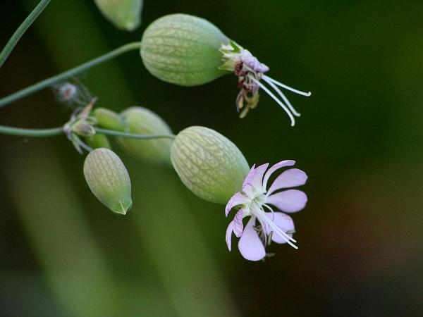 Striped Corn Catchfly (Silene Conica) http://www.sagebud.com/striped-corn-catchfly-silene-conica/