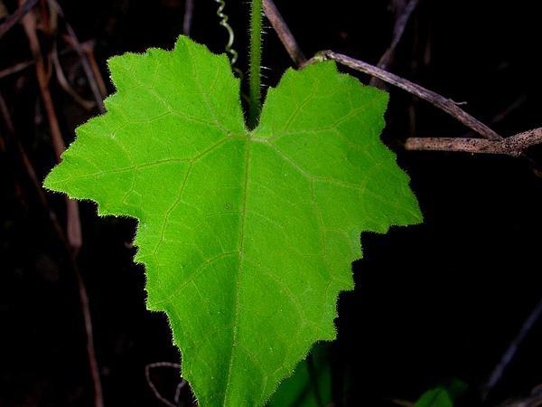 Bur Cucumber (Sicyos) http://www.sagebud.com/bur-cucumber-sicyos