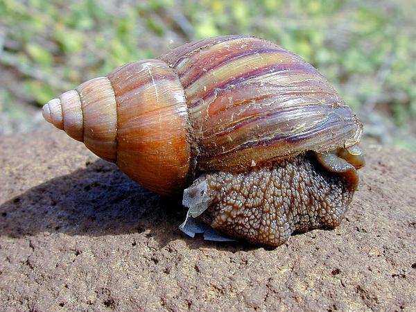 Fanpetals (Sida) http://www.sagebud.com/fanpetals-sida