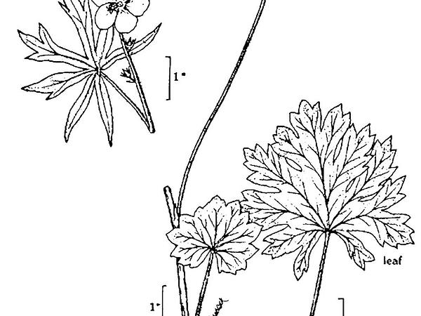Checkerbloom (Sidalcea) http://www.sagebud.com/checkerbloom-sidalcea