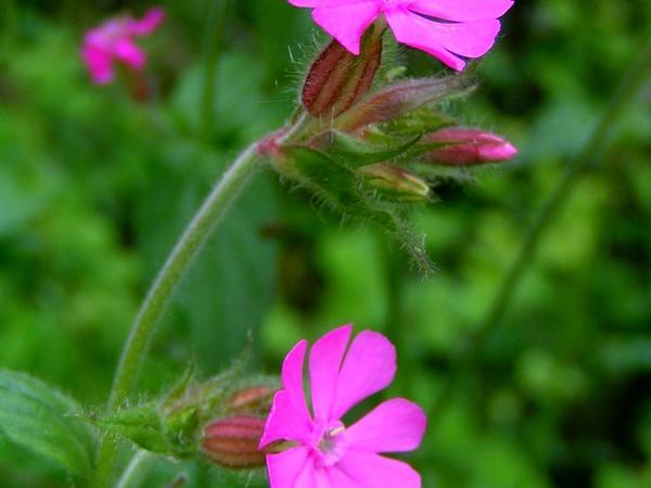 Red Catchfly (Silene Dioica) http://www.sagebud.com/red-catchfly-silene-dioica
