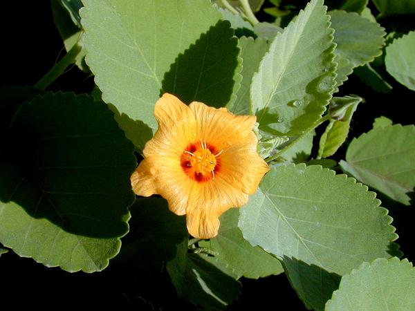 Yellow Ilima (Sida Fallax) http://www.sagebud.com/yellow-ilima-sida-fallax