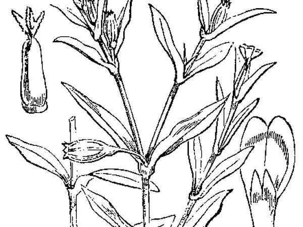 Common Catchfly (Silene Gallica) http://www.sagebud.com/common-catchfly-silene-gallica
