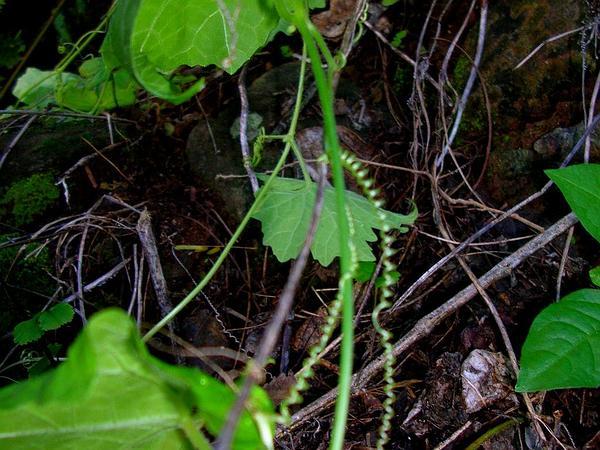 Pricklyfruit Bur Cucumber (Sicyos Hispidus) http://www.sagebud.com/pricklyfruit-bur-cucumber-sicyos-hispidus