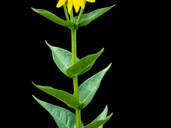 Wholeleaf Rosinweed (Silphium Integrifolium) http://www.sagebud.com/wholeleaf-rosinweed-silphium-integrifolium