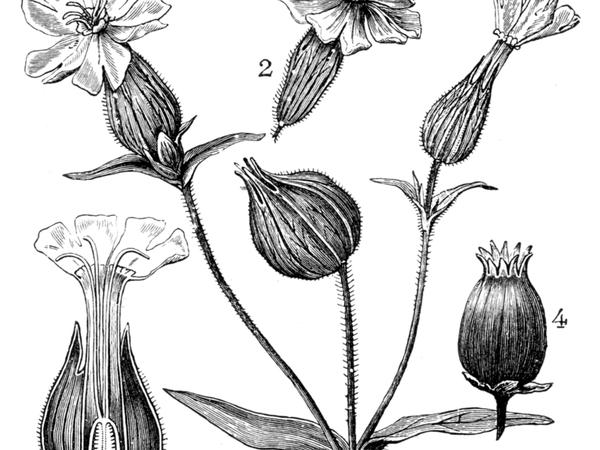 Bladder Campion (Silene Latifolia) http://www.sagebud.com/bladder-campion-silene-latifolia