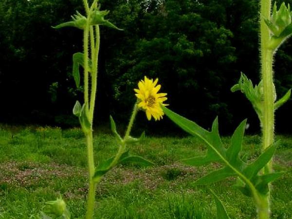 Compassplant (Silphium Laciniatum) http://www.sagebud.com/compassplant-silphium-laciniatum
