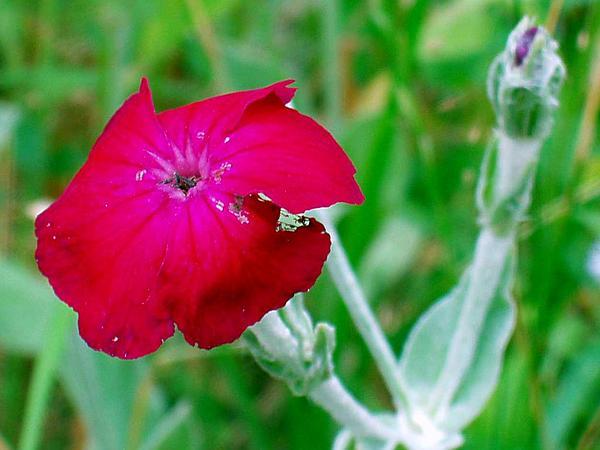Catchfly (Silene) http://www.sagebud.com/catchfly-silene