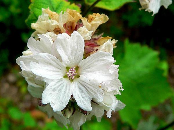 Mapleleaf Checkerbloom (Sidalcea Malachroides) http://www.sagebud.com/mapleleaf-checkerbloom-sidalcea-malachroides/