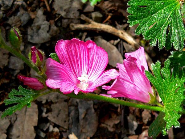 Dwarf Checkerbloom (Sidalcea Malviflora) http://www.sagebud.com/dwarf-checkerbloom-sidalcea-malviflora/