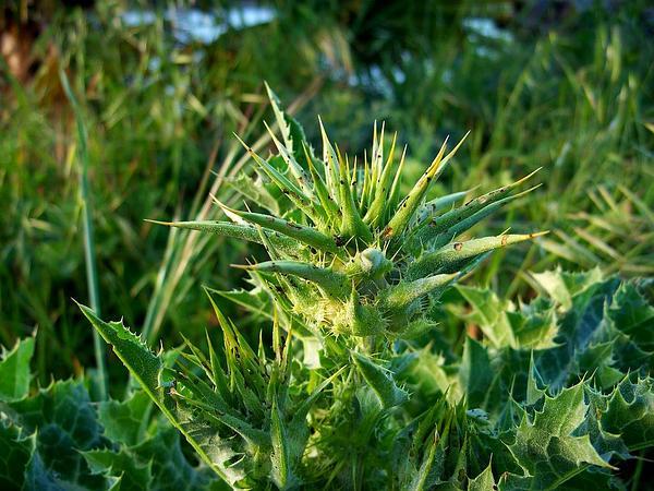 Blessed Milkthistle (Silybum Marianum) http://www.sagebud.com/blessed-milkthistle-silybum-marianum/