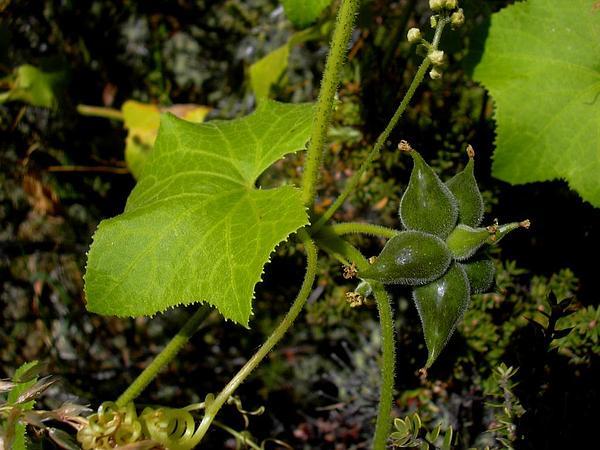 Alpine Bur Cucumber (Sicyos Macrophyllus) http://www.sagebud.com/alpine-bur-cucumber-sicyos-macrophyllus