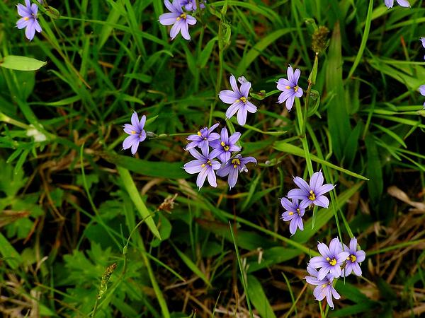 Strict Blue-Eyed Grass (Sisyrinchium Montanum) http://www.sagebud.com/strict-blue-eyed-grass-sisyrinchium-montanum